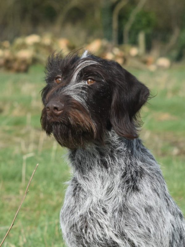 Barbs, German Wire-haired Pointer Bitch – Bawden Flight Gun Dog Breeding Centre