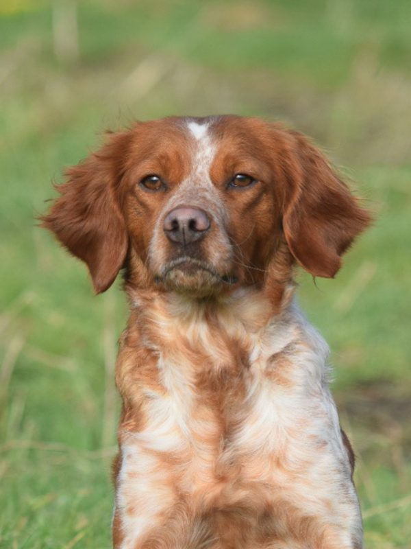 Bonnie, Brittany/Breton Bitch – Bawden Flight Gun Dog Breeding Centre