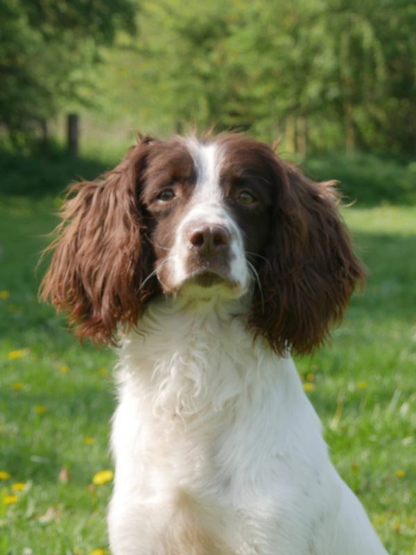 Gaz, Springer Spaniel Stud – Bawden Flight Gun Dog Breeding Centre
