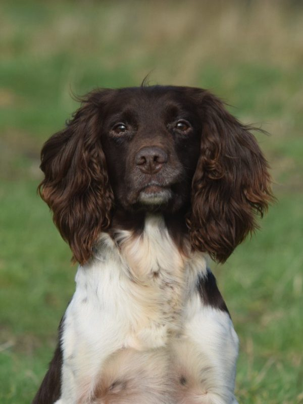 Rocky, Retired Springer Spaniel Stud – Bawden Flight Gun Dog Breeding Centre