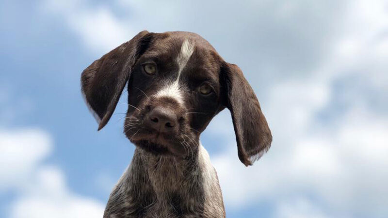 One of our German Wire-haired Pointer puppies